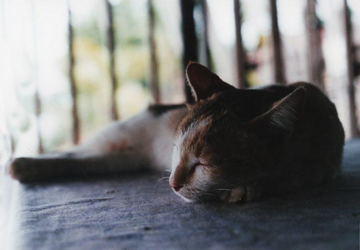 ラオス デット島 メコン川 猫