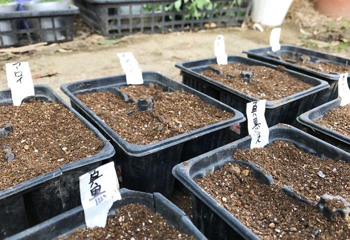 夏野菜 種蒔き 育苗 トマト ナス ししとう