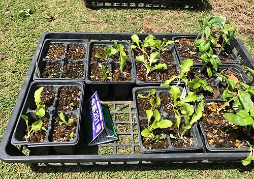 夏野菜植え付け バジル レタス