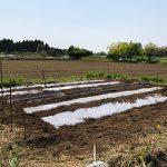 【畑の様子】夏野菜のマルチ張り