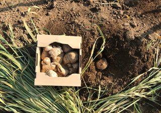 【里芋の植付け】定番のショウガとの混植