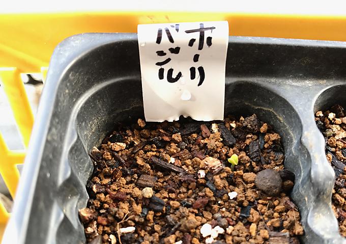 バジルの種蒔き