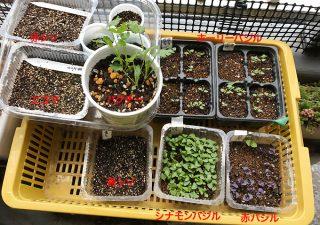 【畑の様子】バジルは順調に発芽。夏野菜の苗はそろそろ植付けかな