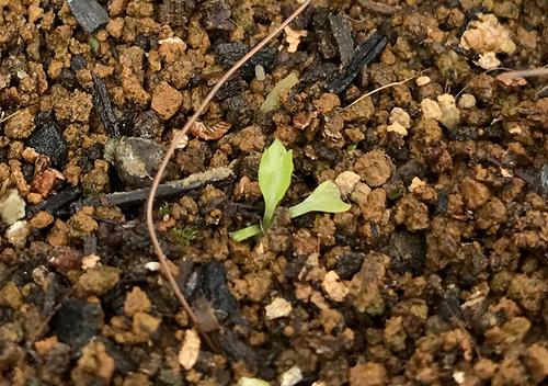 パクチーファランの苗が発芽