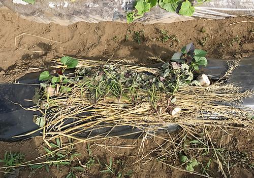 サツマイモ安納芋の芽だし植付け