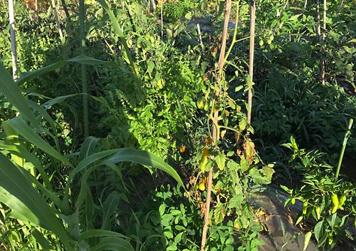 寝かせ植えトマト2017
