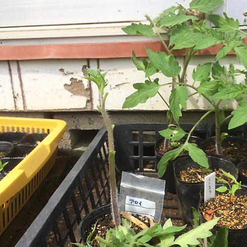 トマトの寝かせ植え