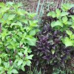 【ハーブ/栽培】8月・バジル、レモンバーム、ローズマリー、シソの様子