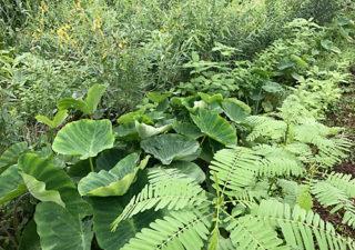 【緑肥/水はけ改善】8月・土壌改良のために播いた『セスバニア』の様子