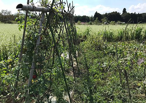 10月ゴマと畑の様子