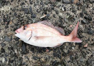 【釣り/館山】10月・アジ釣りに堤防へ行ったら、まさかのマダイを釣り上げる!