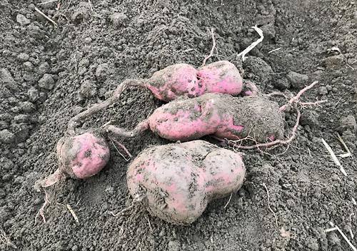サツマイモ、ベニハルカと安納芋