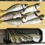 【釣り/館山】11月・アジが好調。釣れたアジを泳がせていたら…!?