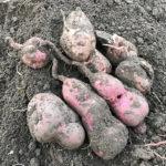 【保存/サツマイモ】収穫したサツマイモを簡単に保存する方法