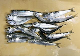 【釣り/大洗】12月・アミ姫を使ってサビキ釣り。30分でイワシ16匹!