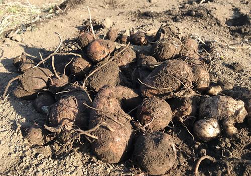 収穫した里芋を冷凍保存