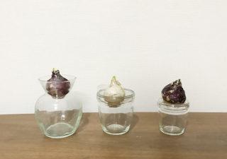 【ヒヤシンス/水耕栽培】1月・まだ間に合う。足りない花瓶はペットボトルでDIY!