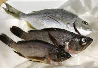 【釣り/レシピ】館山で釣ったキビレとメバルを酒粕漬けにして美味しくいただきます