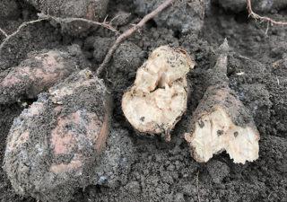 【保存/サツマイモ】失敗!埋めたままのサツマイモは見事に腐った!