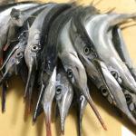 【釣り/館山】4月・アジは釣れぬがサバとサヨリの入れ食い状態!