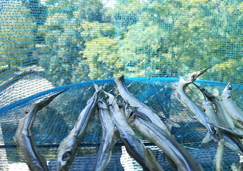 館山千倉でサヨリとサバ釣り