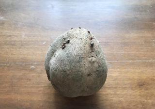 【栽培/サツマイモ】スーパーで半額のマロンゴールドを種芋にして苗をとります