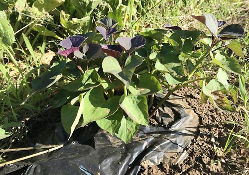 マロンゴールドの種芋から苗蔓をとる