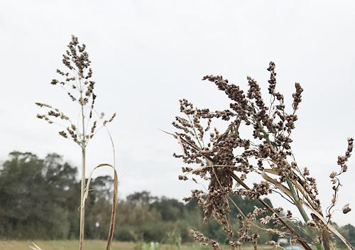 緑肥ソルゴーの自家採種