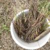 【緑肥/ソルゴー】たくさん採れました。来年の種まき用にソルゴーの自家採種。