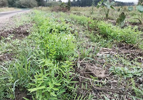草刈りが大変なのでヘアリベッチの種蒔き