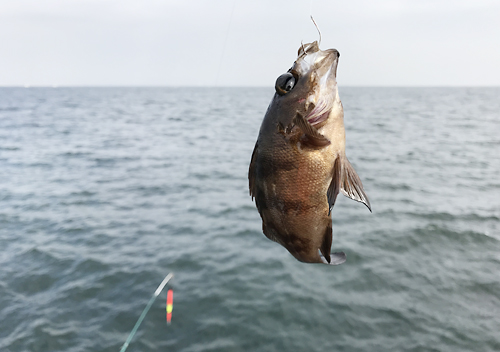 内房で堤防釣りアジ泳がせ