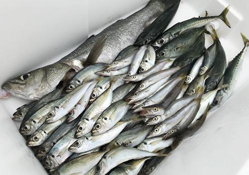 大容量なクーラーボックスいっぱい内房堤防アジ釣り釣果満点