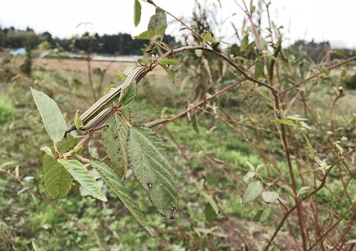 家庭菜園で栽培したモロヘイヤ、種には毒があります