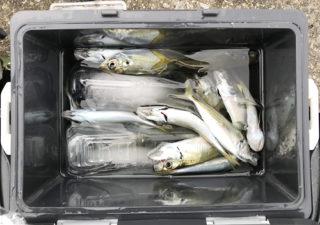 【釣り/南房総】12月・アジがカマスがシーバスが!寒いけど釣れています。