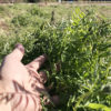 【緑肥/ヘアリーベッチ】極寒期に入り、成長は一時停止しました。
