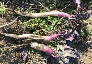 【収穫/日野菜かぶ】紫色のグラデーション。細長くて綺麗なカブが採れました。