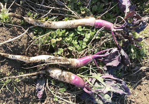 日野菜かぶの収穫_自然栽培