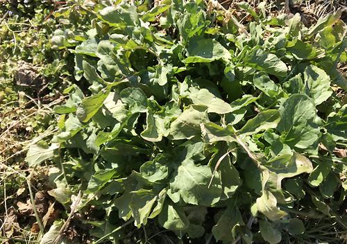 真冬の畑の様子1月自然農法ルッコラ