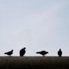 【鳥害/鳩】春、平和の象徴ハト…が今年もベランダにやってくる!