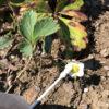 【株分け/イチゴ】綿棒で受粉!混み合った株も隣の畝に移植します。