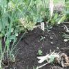 【コンパニオンプランツ】4月・マメ科とネギ類の混植はNG!エンドウ豆が成長しない…。