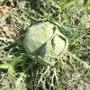 【栽培/キャベツ】青虫食害から奇跡の復活!外葉はスカスカでもギッシリ詰まった結球。