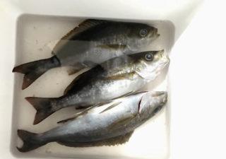 【釣り/鴨川】6月・夜の堤防にアジ釣行くも、ウキを沈めたのは美味しそうなイサキ!