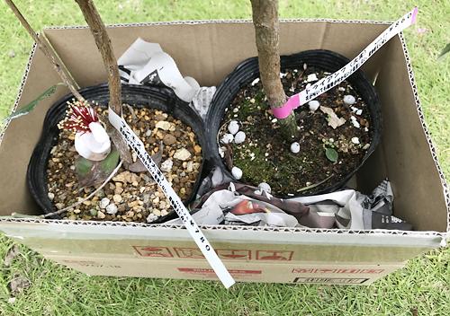 無印直売所で購入したフェイジョアの苗木を栽培します