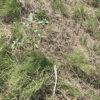 【緑肥/ヘアリーベッチ】雑草抑制に使える!効果の差は歴然だった。