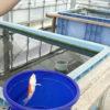 【釣り/谷養魚場】30分で4匹の錦鯉。雨の日は屋内のミニ釣堀が面白い。