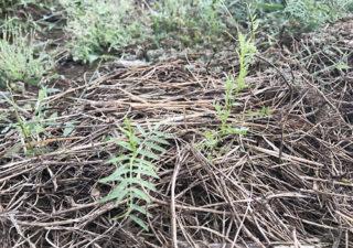 【緑肥/ヘアリーベッチ】来年の雑草抑制のため、採種したタネを播種します!