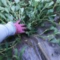 【ナス/コンパニオンプランツ】ナスと混植している落花生の根元マルチを広げてみました