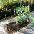 【畑/トマト】『寝かせ植え』で丈夫に育ち収穫量がアップ!したらいいなぁ