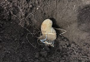 ジャガイモ 植え付け